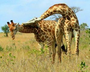 pelea-jirafas