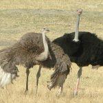 Dos avestruces macho impresionando a una hembra