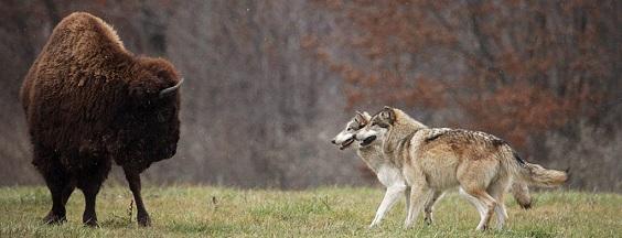 bisonte-lobos
