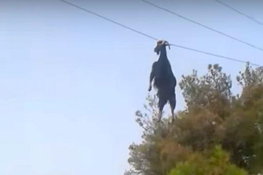 Rescatan una cabra colgada del tendido electrico