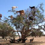 Cabras subidas a un arbol en Marruecos