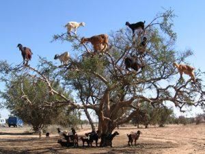 cabras-en-el-arbol-argan