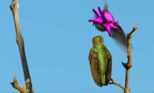 colibri-enmascarado