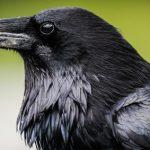 Los cuervos son aun mas listos de lo que pensamos