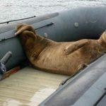 Foca salta a un barco para salvarse de las orcas