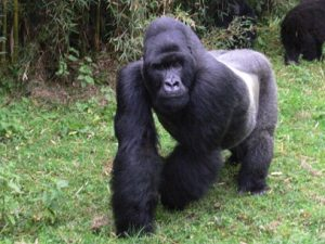 gorila-espalda-plateada