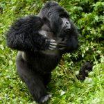 Gorila de Ruanda golpeandose el pecho