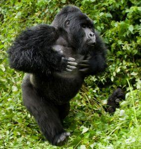 gorila-golpeando-pecho