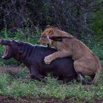 Leonas cazando en fila a hipopotamo