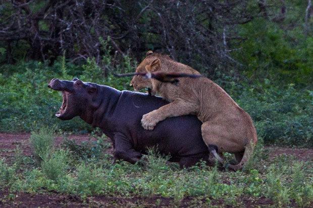 leon-cazando-hipopotamo
