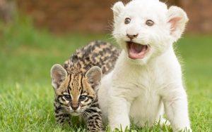 -leona-albina-leopardo-cachorro
