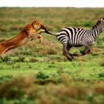Leona intenta fallidamente cazar una cebra