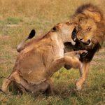 Leones cazan un bufalo y se lia parda