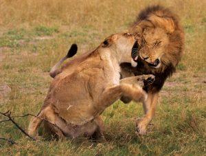 leones-peleando