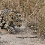 Escualido leopardo intentando cazar