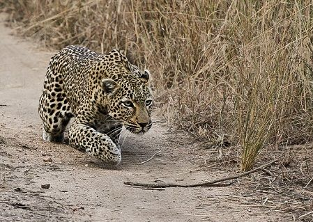 leopardo-cazando
