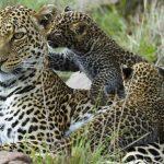 Grandes documentales – El leopardo insólito