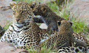 -leopardos-cachorros