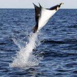 Orcas cazando mobulas