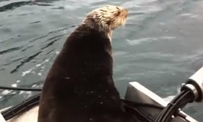 Nutria salta a un barco para salvarse de las orcas