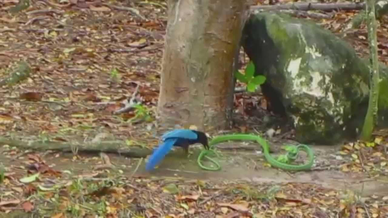 Serpiente se hace la muerta para escapar de pajaro