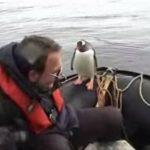 Pingüino saltando a una barca acosado por orcas