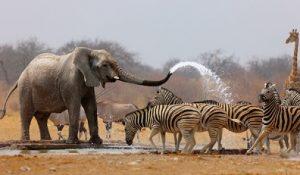 elefantes-cebras-ethosa