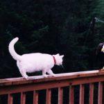 ¿Atacará el gato al águila?