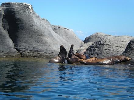 leones-marinos-baja-california