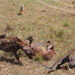 Hienas robando comida a un leopardo