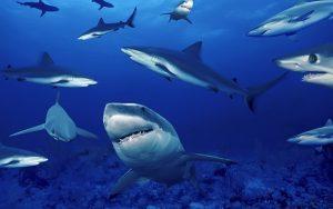 los-grandes-tiburones-del-canon-de-coral