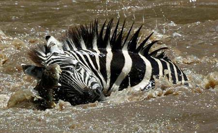 cocodrilo-cazando-cebra