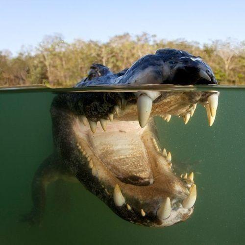 cocodrilo-gigante
