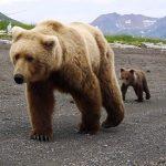 Encuentro muy cercano con un oso pardo en Alaska