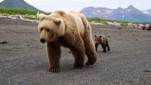 encuentro-oso-pardo