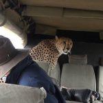 Guepardo en un coche en Masai Mara