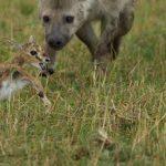 Joven ñu se encuentra con joven hiena