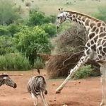Jirafa y cebra peleando