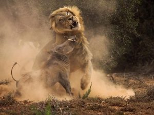 -leon-jabali-peleando