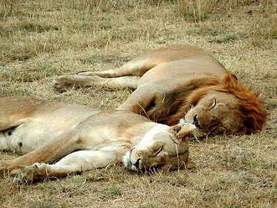 leones-durmiendo