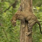 Impresionante video de un leopardo cazando un mono en un arbol