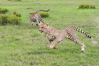 -leopardo-cazando-guepardo