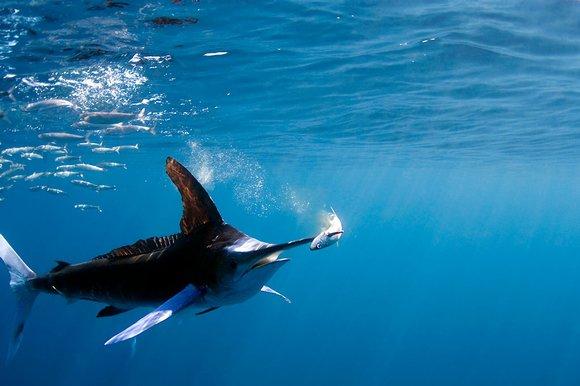 marlin-cazando-una-sardina