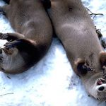 Familia de nutrias jugando en la nieve