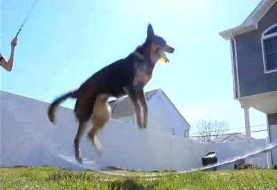 Perro saltando a la comba con doble cuerda