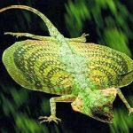 Los reptiles voladores de Borneo