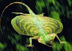 reptiles-voladores-de-borneo
