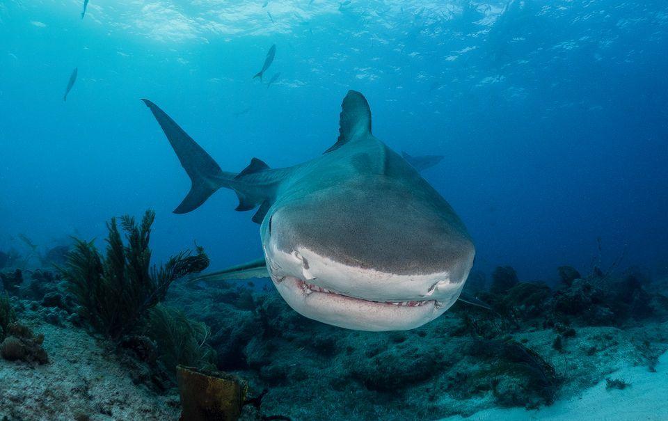 70 tiburones tigre comiendo una ballena muerta