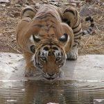 Tigre cazando una cria de ciervo en India