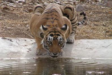 tigre-bebiendo